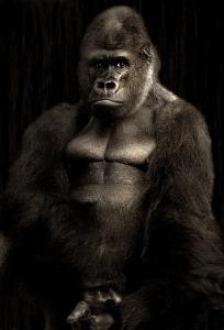 gorilla-610457_640